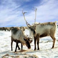 Сроки охоты в Якутии утверждены главой республики...